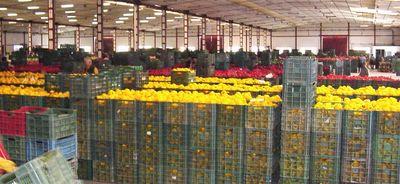 Vista del almacén. Pimiento california amarillo