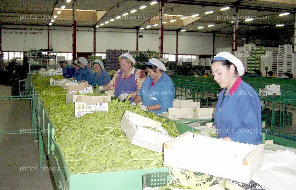 Manipulando judía verde plana en Agrupaadra 2002