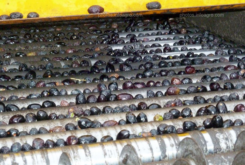 Aceitunas en lavadora de trujal
