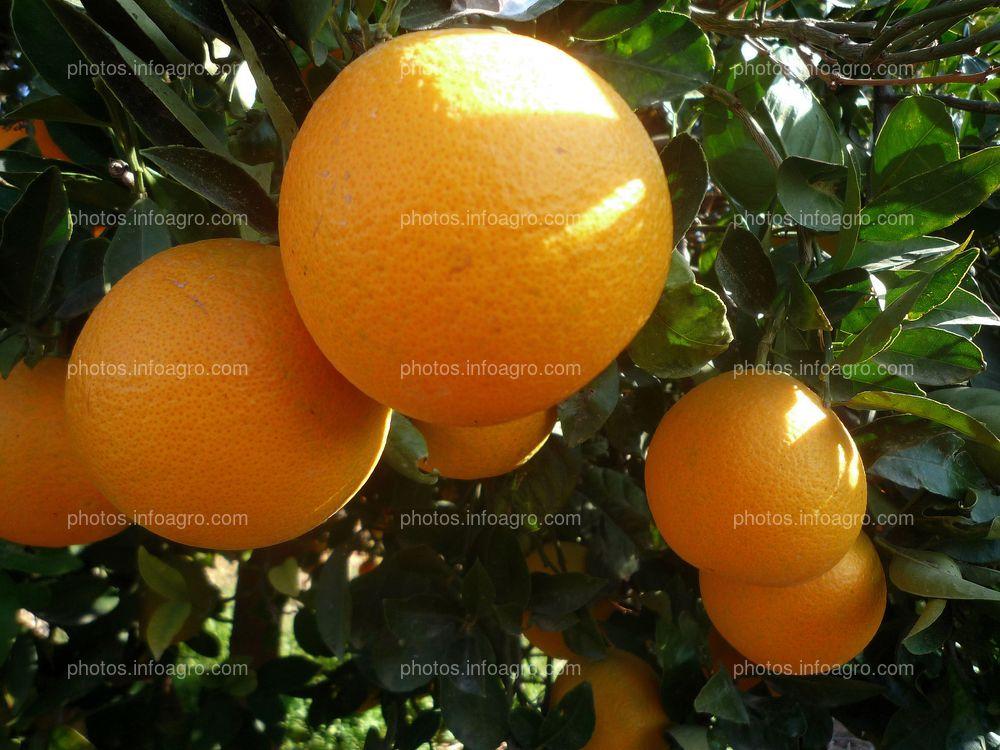 Naranjas en árbol