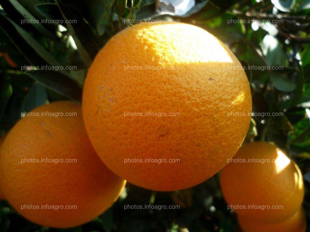Frutos de naranja