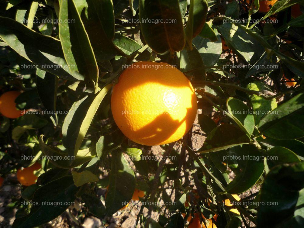 Naranjas en campo