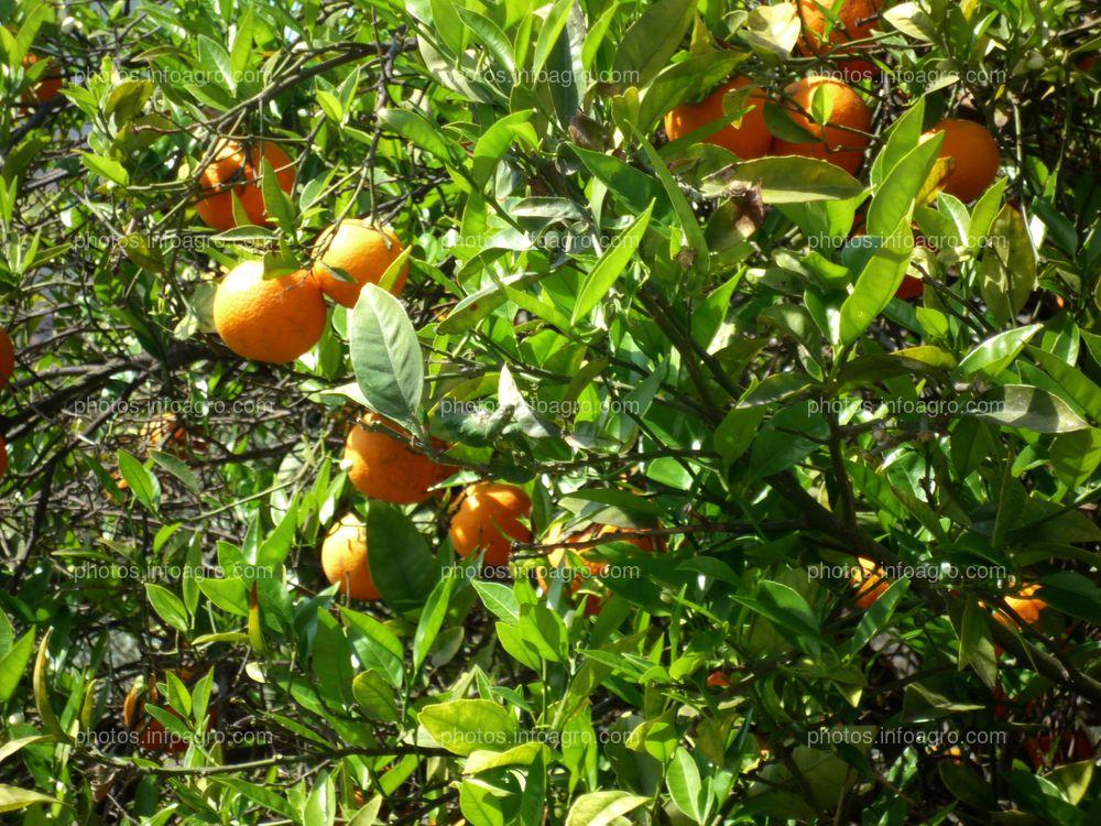 Citrus sinensis L.