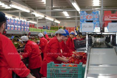 Trabajadoras de Vicasol 3 El Ejido, manipulando pimientos