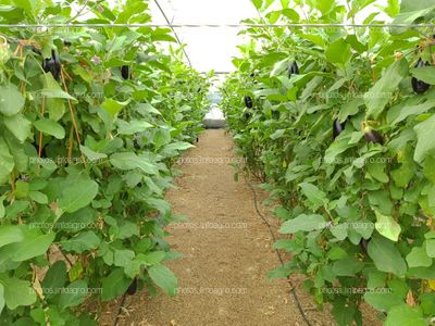 Plantas de eggplant