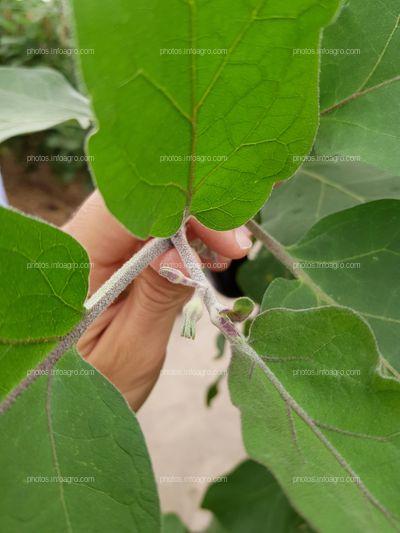 Yemas florales y hojas de berenjena