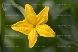 Flor amarilla de calabacín
