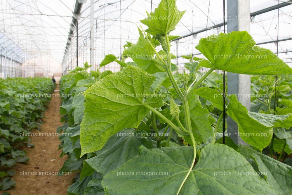 Plantas de calabacín