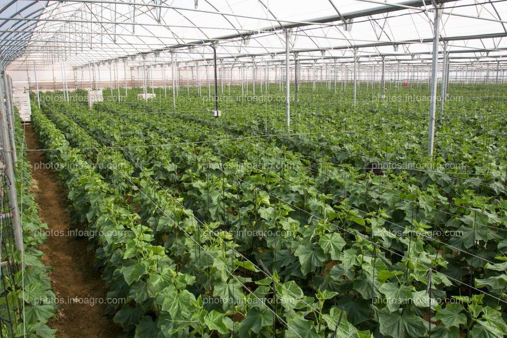 Cultivo de calabacín