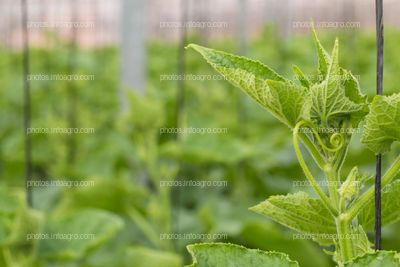 Detalle de planta de calabacin
