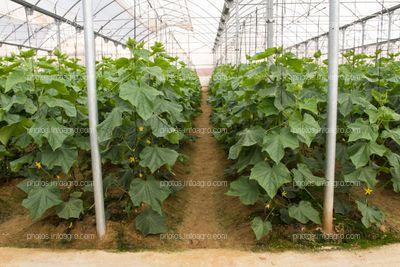 Hileras de calabacín en invernadero