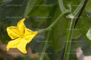 Flor de calabacín