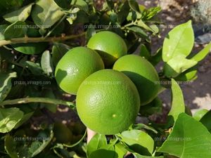 Frutos de pomelo