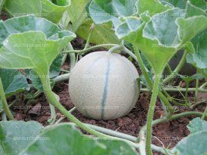 Fruto de melón