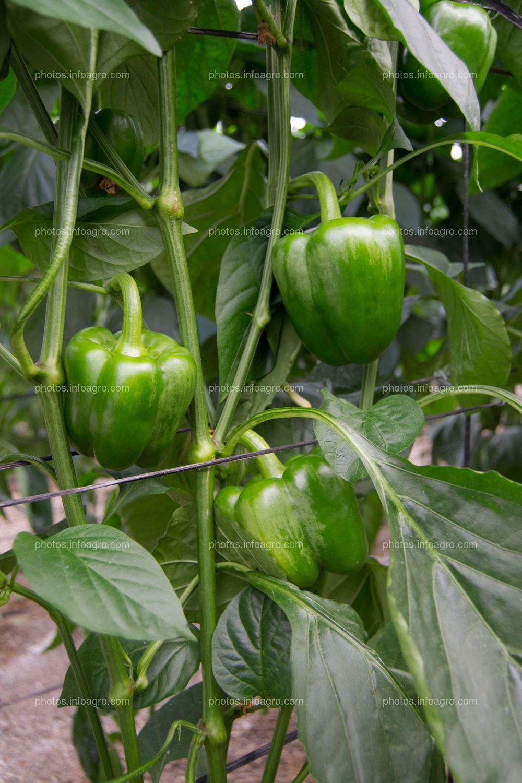 Frutos de pimiento
