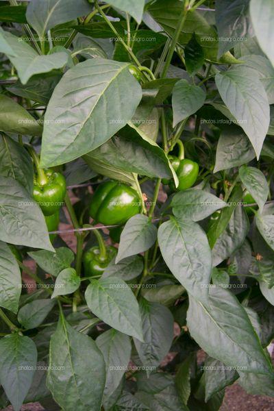Frutos de pimiento en planta