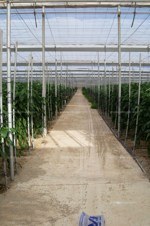 Pasillo de invernadero con cultivo de pimiento