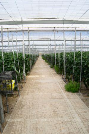 Pasillo con trampa cromática para cultivo de pimiento