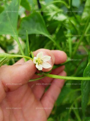 Floración en pimiento