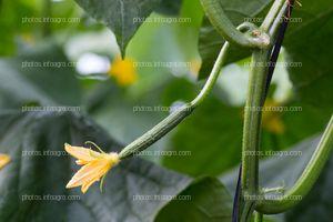 Fruto de pepino