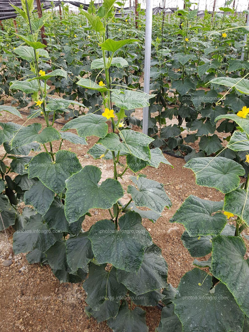 Crecimiento de planta de pepino