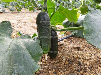 Frutos de cucurbitacea