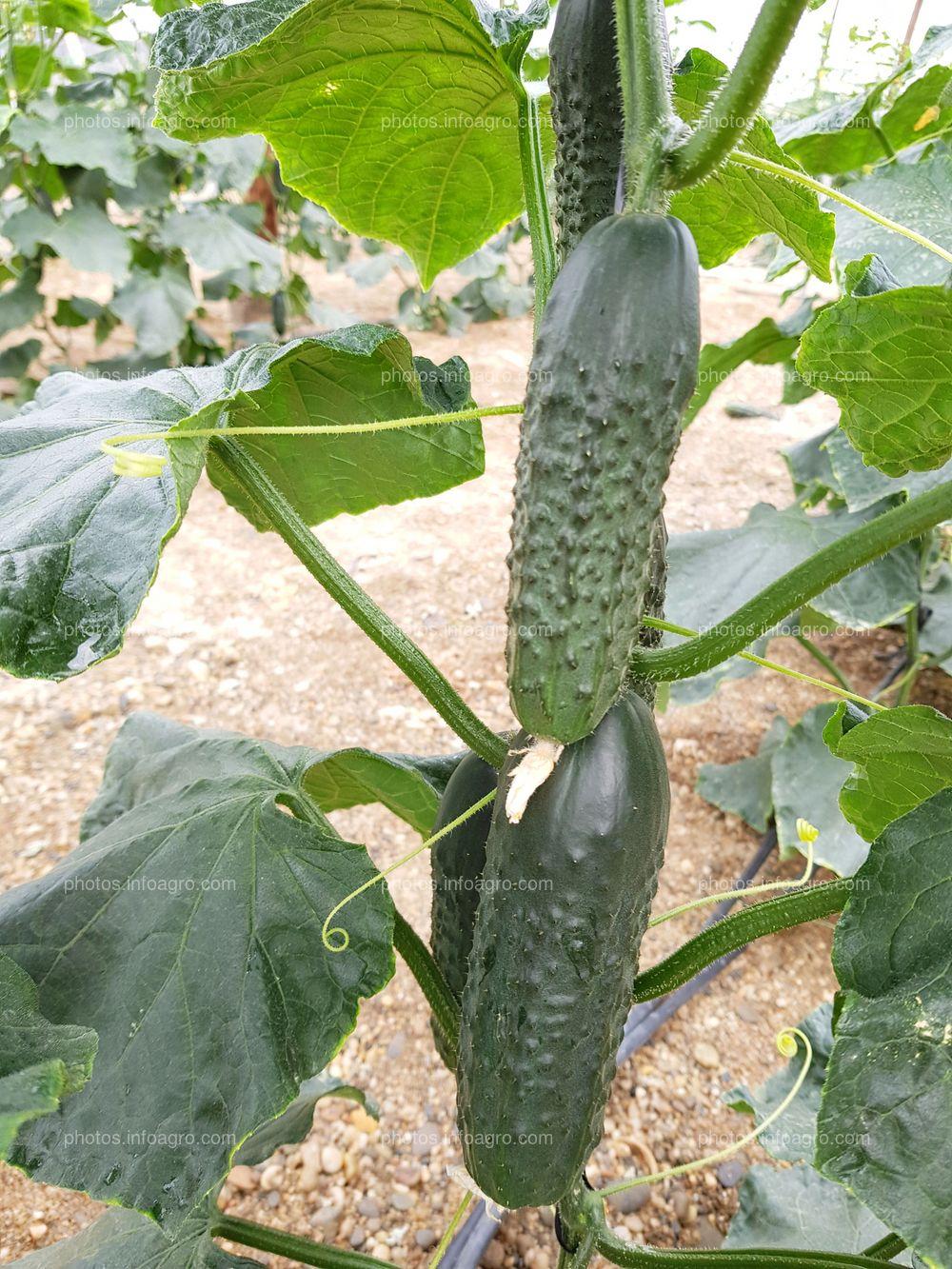 Planta de pepino