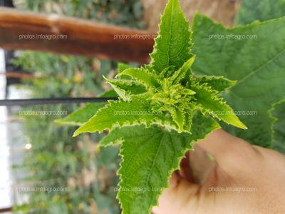 Desarrollo vegetativo de pepino