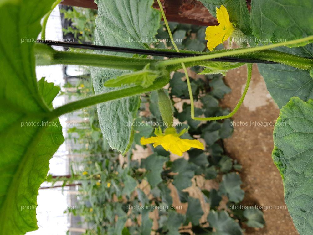 Floración en pepino