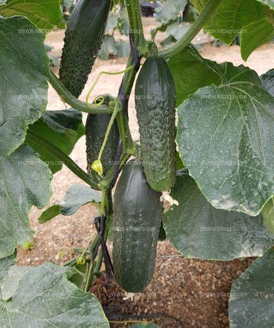 Frutos de pepino