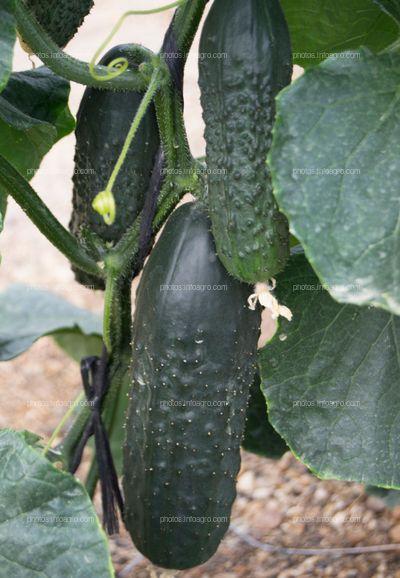 Engorde de fruto de pepino