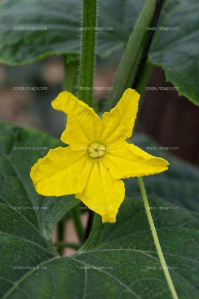 Flor de pepino femenina abierta
