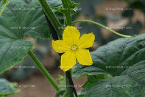Flor femenina de pepino