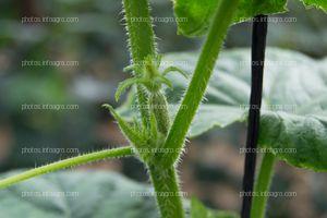 Yemas vegetativas de pepino