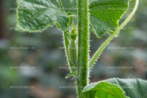 Yemas reproductivas de pepino