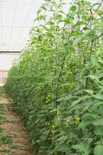 porte arbustivo de tomate