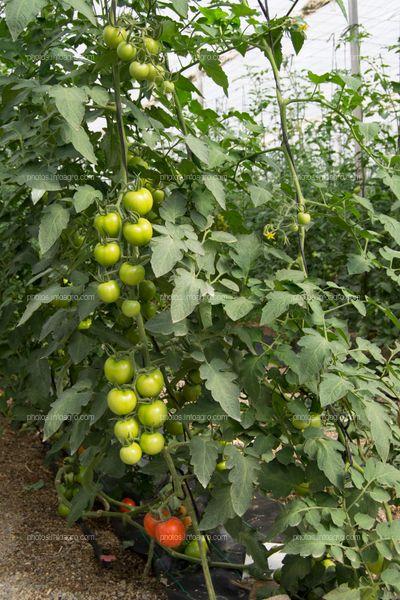Jitomates en planta