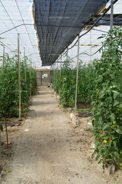 Pasillo de plantas de tomate