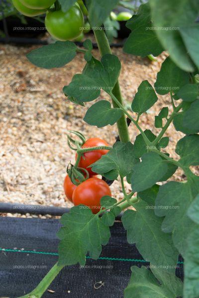 Cultivo de jitomate
