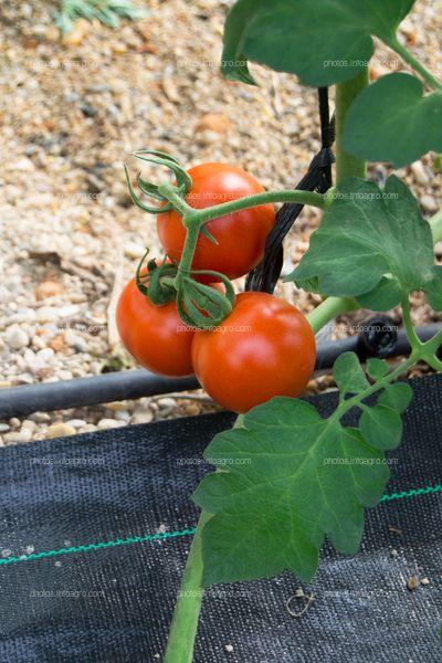 Planta perenne de tomate