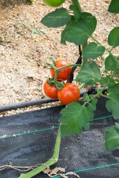 Tallo principal de tomate con frutos