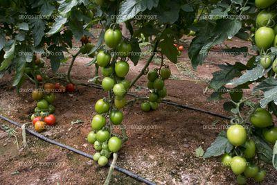 Separación entre líneas de tomate