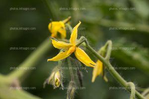 Inflorescencias de tomate