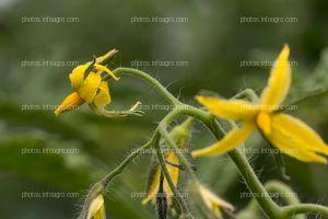 Flores cada 2-3 hojas en axilas de tomate
