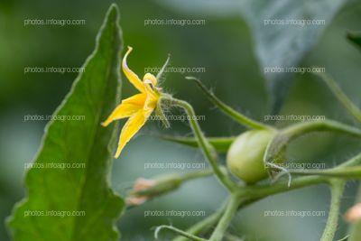 Flor de jitomate