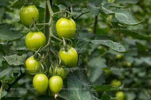 Planta de jitomate