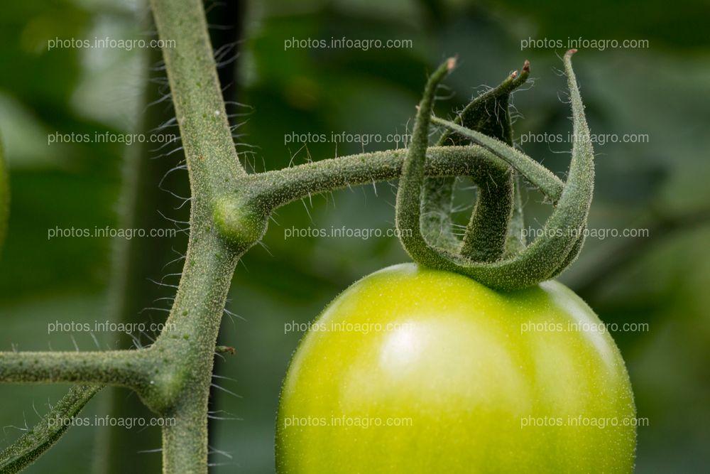 Desarrollo de tomate