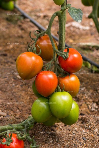 Diferentes estados de maduración de tomate