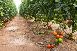 Pasillo de invernadero de tomate