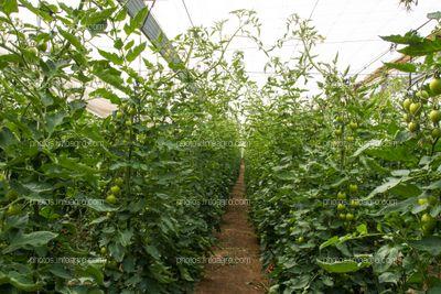 Marco de plantación en tomate